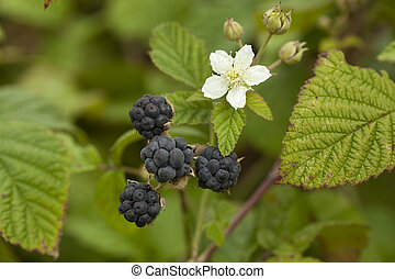 blackberry bush with white flower and fruits