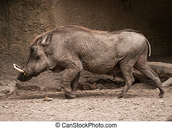 Wild Boar at the Berlin Zoo, Germany