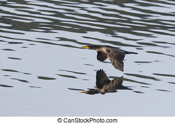 Cormorant just above water.