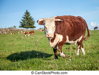Big Hereford Cow - Big Hereford cow staring while grazing on...