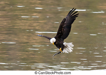 Eagle adjusts fish - An eagle that just caught a fish adjust...