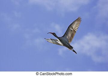 White Ibis Eudocimus albus flying