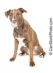 Seated Dog Isolated on White - Portrait of a young Pitt Bull...
