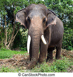 Asian elephant - Big elephant in the jungle, Thailand.