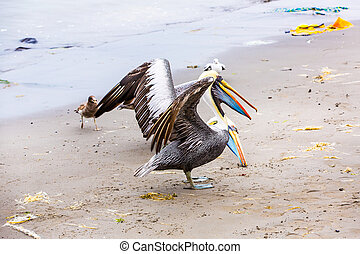 Pelicans on Ballestas Islands,Peru South America in Paracas...