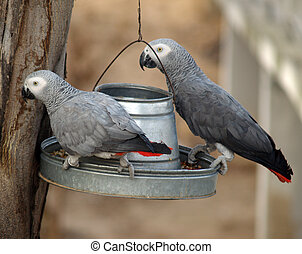 Two african grey Parrots - african grey eating with each...