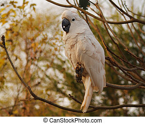 awesome moluccan parrot - Parrot cute and white in nice pose...