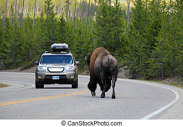 Fearless - Bison (Bison Bison) Encounter on the Road,...