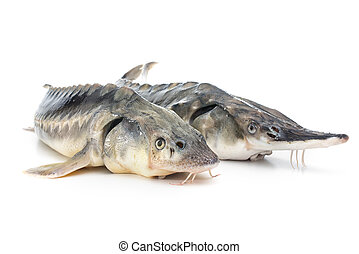 Sturgeon fish - Fresh sturgeon fish isolated on white...