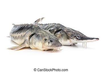 esturión, pez
