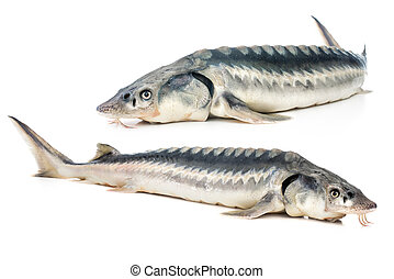 peixe, esturjão