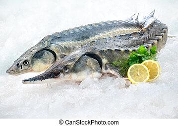 pez, esturión