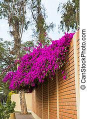 Flowers bougainvillea in Lima, Peru,South America.