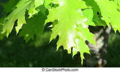 oak tree leaves wet - wet sunlit decorative oak tree branch...
