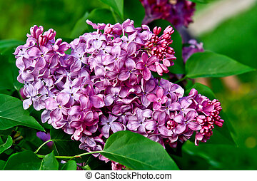 Syringa vulgaris Gorgeously fragrant lilac blossoms - Spring...