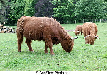 herd Scottish highland cows