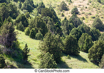coniferous trees in the mountains in Kazakhstan