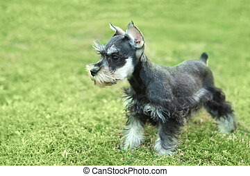 Little Minuature Schnauzer Puppy Dog - Cute Little Minuature...