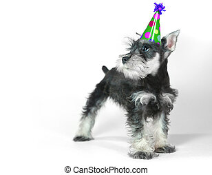 Birthday Hat Wearing Miniature Schnauzer Puppy Dog on White...