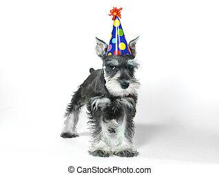 穿,  Schnauzer, 狗, 微型畫, 生日, 白色, 小狗, 帽子