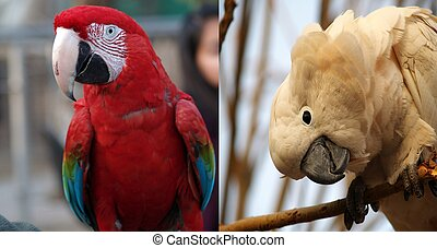 Awesome red macaw vs white moluccan - nice couple of parrots...