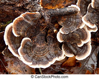 Trametes versicolor - Close up of Trametes versicolor aka...