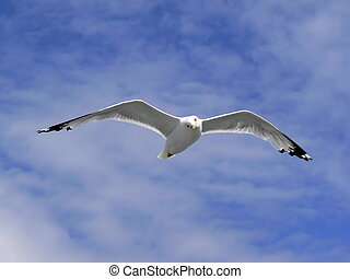 American herring gull - One american herring gull (larus...