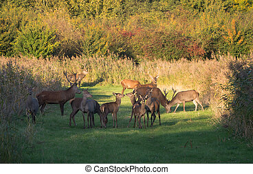 Herd of deer in the fall at sunset in the province of...