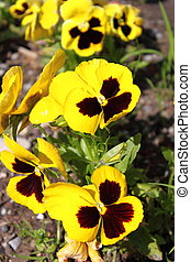 Yellow Pansy flowers - Closeup view of yellow Pansy flower...