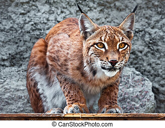 Lynx - Beautiful photo of graceful big cat Lynx