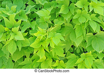 sweet potato leaves for background uses