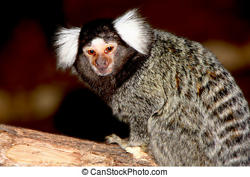 marmoset white forelock took the position of look at me