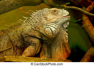iguana with these beautiful color and perfectly quiet in its...