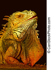 iguana - Iguana is not shy shows us her pretty profile