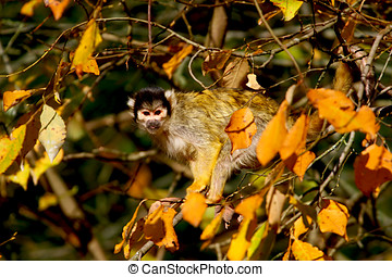 monkey marmoset - marmoset is in the trees and observation...