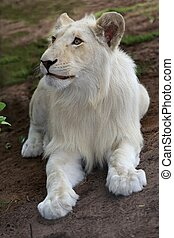White Lion Cub - Rare white lion male cub laying on the...