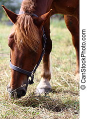 brown horse - head of brown horse in a field