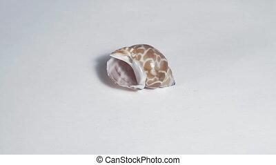 Seashell on white turning close up