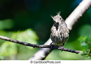 House Finch Having a Bad Hair Day