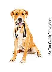 Labrador Retriever With Leash in Mouth - Labrador Retriever...