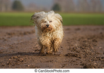Nass und Schmutzig - A Havanese runs quickly through the mud...