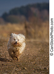 Dirty but happy - A Little Havanese is everything, but he...