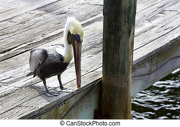 Brown pelican in Winter plumage watches for fish from a dock...