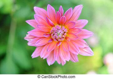 dahlia aster - two color tones of dahlia aster flower