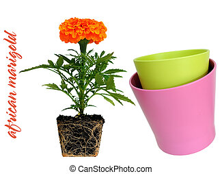 African Marigold (Tagetes Erecta) - Two vases and African...