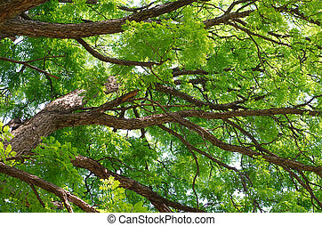Kentucky Coffeetree Canopy Close-up in the Middle of Summer