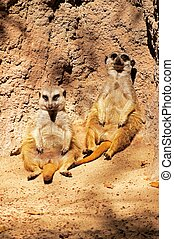 Meerkats sitting against a rock. - Meerkats (Suricata...
