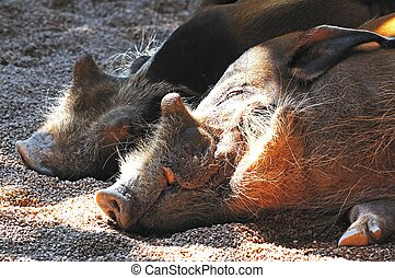 Red River Hogs - Red River Hogs Potamochoerus Porcus lazing...