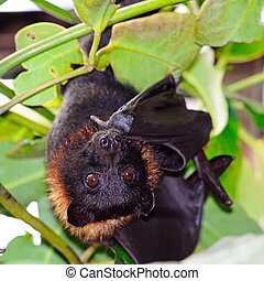 Large Flying Fox. - The Large Flying Fox (Pteropus Vampyrus)...