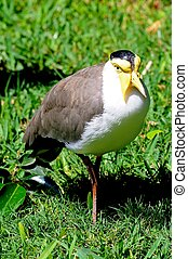 Masked Lapwing. - Masked Lapwing walking on the grass.